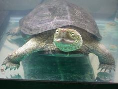 Turtle - Reeve's Tortoises, Turtles, Reptiles, Bird, Rock, Pets, Animals, Tortoise, Turtle