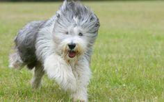 Bearded Collie dog English Sheepdog Puppy, English Dogs, Collie Breeds, Collie Dog, Friendly Dog Breeds, Dog Breed Info, Popular Dog Breeds, Bearded Collie, German Shepherd Dogs