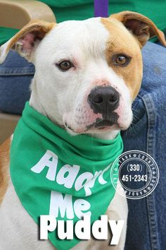URGENT!!! PUDDY (sweet frindly fella) Found in CANTON, OHIO...NOW ADOPTABLE!!!! https://www.petfinder.com/petdetail/30296162/