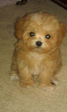 Bella, cutest Maltipoo ever! But that name has got to go!! Ruined such a cute dog!!!
