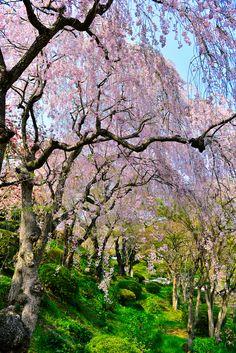 ~~Weeping Cherry Trees, Sakura by nans0410~~