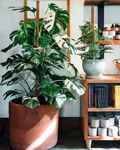 Hoya plant care is simple, so long as you follow a few rules. We've laid out everything you need to know to care for our top 5 Hoya (wax plant) cultivars.