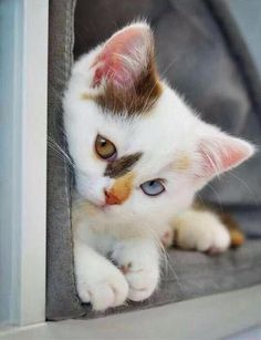Cute Cats And Kittens And Dogs And Puppies Cute Kittens Love Cute Cats And Kittens, I Love Cats, Crazy Cats, Kittens Cutest, Ragdoll Kittens, Tabby Cats, Kittens Meowing, Siamese Cats, Big Cats