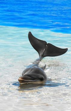 I absolutely love Dolphins, or aquatic mammals in general. I'd love to swim with dolphins Orcas, Beautiful Creatures, Animals Beautiful, Vida Animal, Water Animals, Baby Animals, Ocean Creatures, Sea World, Pisces