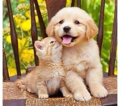 Golden Retriever puppy with an orange kitten