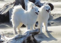 Vote for Moxie & Brio and other favorite finalists in AAA's PetBook Popular Vote Contest by repinning (2 points) or liking (1 point) until Feb. 7, 2014. Moxie & Brio, in Bandon, OR, are finalists in the AAA PetBook photo contest. The winner will be featured in the 16th edition of the AAA PetBook. May the cutest pet win!