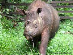Globally there are less than 100 Sumatran rhinos remaining. Outside of Asia, just two individuals remain in captivity that have been reunited in Cincinnati Zoo (USA). Scientists are planning on mating 'Suci', a nine-year-old Sumatran rhino, with her six-year-old brother, 'Harapan'.This is a drastic step, to help save the species from extinction. http://www.savetherhino.org/latest_news/news/757_cincinnati_zoo_plans_to_mate_sumatran_rhino_siblings