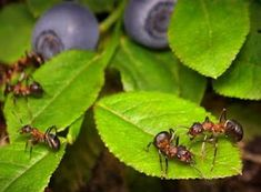 Natural remedies for getting rid of ants and other critters in the garden.