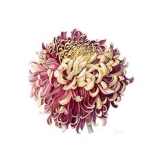 Jennifer Wilkinson.   Catalogue Number 146.  Chrysanthemum 'Bronze Gigantic'  traces pencil + watercolour  555mm by 480mm