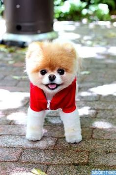 Pomeranian boo its so cute 💕