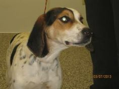 Flower is an adoptable Bluetick Coonhound Dog in Tiffin, OH. Flower is a Tree walker/Bluetick mix possibly. She is very young and full of spunk. She was picked up as a stray with no owner claim.  All ...