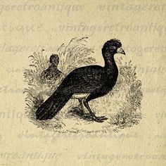 Digital Graphic Yellow Billed Curassow Bird Printable Download Image Vintage Clip Art. Digital graphic illustration. This high resolution printable digital image download works well for iron on transfers, printing, t-shirts, pillows, and other great uses. Real vintage art. Antique artwork. This image is high quality and high resolution at size 8½ x 11 inches. A Transparent background png version is included.