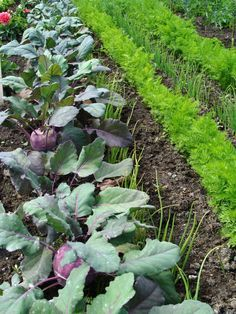 Fruchtfolge und Mischkultur im Garten ~  Crop rotation and intercropping in the garden