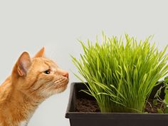 Do you have an indoor cat who likes to stare out the windows and longs to be outside? Then an indoor cat garden is just what your home needs to bring the outdoors in for your curious critter! Just get a few materials, follow the tips below, and you will soon have a garden that's safe for your cat to eat and explore!  Planter When looking for the right planter, search for one that is tall enough for your cat's head to reach the plants, but also small enough so that there isn't room for your…