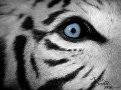 Tiger Eyes Close Up   White Tiger's Eye Close Up by ~NaturePunk on deviantART