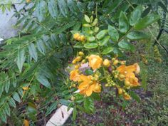 The host plant of the Golden Sulphur Butterfly - Cassia.