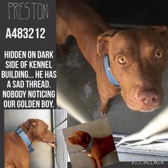 07/11/15- Pit a Boo and The San Bernardino Pups July 8 · GOLDEN BOY ALERT!! He is there and it is dark. If you don't know the shelter well you can't find him without help. He is Gorgeous. SUPER friendly! His fur color is STUNNING! Please don't let this boy be killed. PRESTON #A483212 (AVAILABLE 6/23) I am a male, brown Pit Bull Terrier. Shelter staff think I am about 3 years old. I have been at the shelter since Jun 16, 2015. If I am not claimed, after my stray holding period, I may be