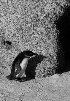 Lurking around, a suspicious looking penguin | by thefascinatingeveryday