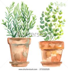 Herbs in a flowerpot. Oregano in a pot. Rosemary in a pot. Herbs painted with watercolors on white background