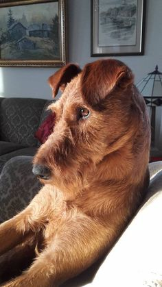 Handsome Irish Terrier enjoying window sun