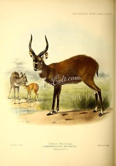 hoofed-00540 Selous' Sitatunga ArtsCult.com Artscult ArtsCult vintage printable public domain 300 dpi commercial use 1800s 1700s 1900s Victorian Edwardian art clipart royalty free digital download picture collection pack paintings scan high qulity illustration old books pages supplies collage wall decoration ornaments Graphic engravings lithographs century 18th 17th Pictorial fabric transfer scrapbooking Paper craft instant masterpie