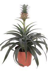 ananasplant kopen