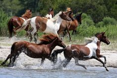 Wild horses of Assateague Island, Virginia