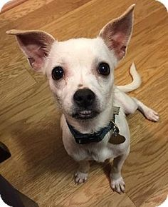 Atlanta, GA - Chihuahua Mix. Meet Garnet, a dog for adoption. http://www.adoptapet.com/pet/12000486-atlanta-georgia-chihuahua-mix