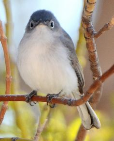 Western Blue-gray Gnatcatcher - Yuma County, CO - May 2013   by SteveMlodinow