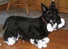 snow poodle scottie