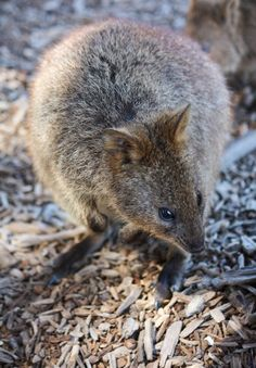 Quokka https://www.facebook.com/pages/Karyn-Lake-Photography/