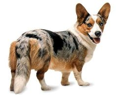 I want a corgi in every color imaginable. Little legs, big ears and fluff. Such an adorable combination. <3
