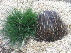 Ornamental Grasses Identification   ornamental grasses edibles page echidna grass australian native very ...