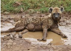 Spotted Hyena just chillin' out in Africa - Xpedition Africa 2012.
