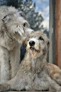 my next dog irish wolfhound Really Big Dogs, Irish Wolfhound Dogs, Scottish Deerhound, Irish Terrier, Irish Setter, Large Dogs, Beautiful Dogs, Dog Life, Best Dogs