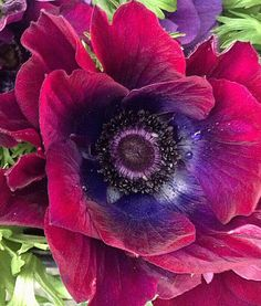 Purple anenome