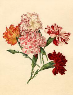 Applebee, Caroline Maria -- Dianthus caryophyllus -- Caroline Applebee -- Artists -- RHS Prints