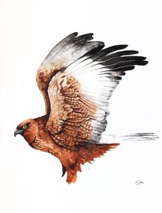 ARTFINDER: Western Marsh Harrier by Karolina Kijak -  Original watercolors of Western Marsh Harrier (Circus aeruginosus) Paper 300g,  100% cotton size 32x44cm  Follow me on facebook: https://www.facebook.co...