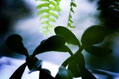Jade plant 5x7 photograph