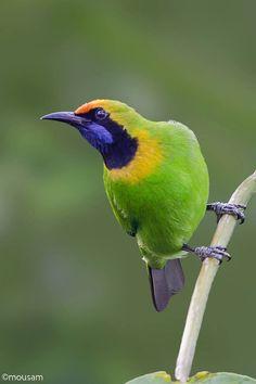 Golden-fronted Leafbird.