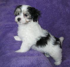 Havanese Puppies For Sale, Dogs, Animals, Animales, Animaux, Pet Dogs, Doggies, Animal, Animais