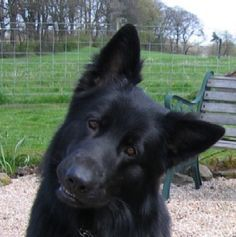 Black German Shepherd, love this dog!