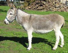 Awapuni Double Delight. Courtesy: Awapuni Donkey Stud, Taupiri (New Zealand).