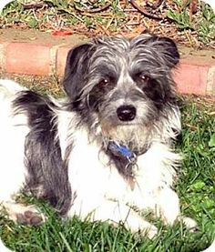 ALFIE is 1-2 year old terrier mix who weighs a mere 9 pounds. He is very sweet and loving. ALFIE loves kids and dogs. The sweetest dog you will ever meet. He can be playful and also a mellow lap dog. Very docile and shows no aggression. Uses doggy door. Loves car rides and walks on leash. Likes having a dog playmate. Affectionate. Loves attention. He sleeps in a crate, but would rather sleep on the bed. He is neutered and up-to-date on vaccinations.