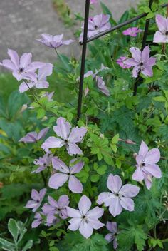 Clematis 'Fairy Dust' on our trellis