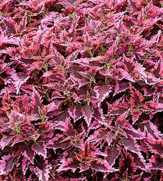 """Coleus """"sun loving with edged leaf"""" but it says it grows in the shade :) or indorr, annual plant, 1 to 4 ft tall zone 7"""