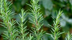 Rosemary Plant, Korn, Vegetable Garden, Herbs, Stock Photos, Vegetables, Green, Image, Aloe