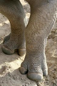 Rhinoceros Rhino With Three Toes.jpg (186×280)