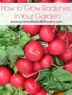 How to Grow Radishes in Your Garden: Tips for growing radishes from seed, how to transplant and care for radish seedlings, when and how to harvest radishes.