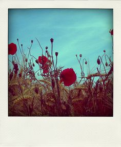 "LOVE this whole situation!   ""Poppies & Weeds""   By Samyra Serin via Flickr"